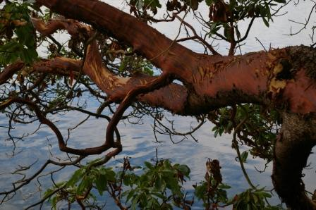 WALLACE Narled trees