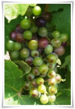 Grape Bunch 2