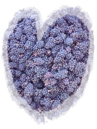 I helped harvest these Pinot Noir grapes at the Township 7 Langley vineyard in 2009 :)