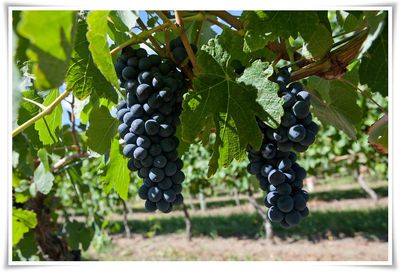 Grapes in Oliver, BC. Photo courtesy Wines of BC.